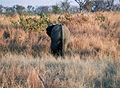 Elephant (Loxodonta Africana) 14.jpg