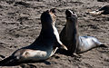 Elephant Seal and a Seal Fighting (10803043334).jpg