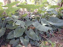 Xanthosoma sagittifolium no riacho Waiahole, no Havaí.