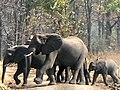 Elephants in Liwonde National Park (cropped).JPG