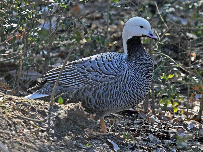 File:Emperor Goose RWD.jpg