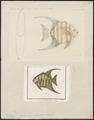 Ephippus faber - 1700-1880 - Print - Iconographia Zoologica - Special Collections University of Amsterdam - UBA01 IZ13100271.tif