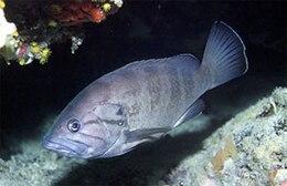 Epinephelus caninus
