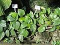 Epipremnum aureum - Botanischer Garten München-Nymphenburg - DSC07995.JPG