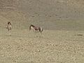 Equus kiang.jpg