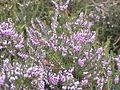 Erica herbacea5.jpg