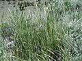 Ericameria nauseosa or Chrysothamnus nauseosus (5453485773).jpg