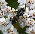 Eriothrix rufomaculata (male) - Flickr - S. Rae.jpg