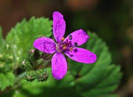 Erodium January 2008-1.jpg