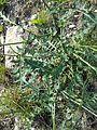 Erucastrum nasturtiifolium sl1.jpg