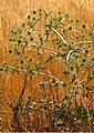 Eryngium campestre (Flora de Valdemoro).jpg