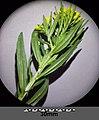 Erysimum cheiranthoides sl2.jpg
