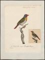 Estrilda melba - 1825-1834 - Print - Iconographia Zoologica - Special Collections University of Amsterdam - UBA01 IZ15900151.tif