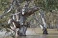 Eucalyptus camaldulensis Murrumbidgee 29088519623 f2f2ea0ac9 o.jpg