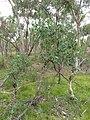 Eucalyptus polyanthemos 2.jpg