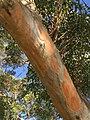 Eucalyptus punctata - trunk bark 2.jpg
