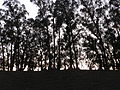 Eucalyptus trees at dusk.JPG