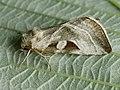 Eucarta virgo - Silvery gem (41055424731).jpg