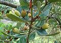 Eucryphia cordifolia, fruit (8661827246).jpg