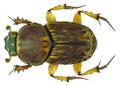 Euoniticellus triangulatus Harold, 1873 male (7439729730).png