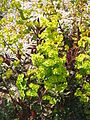 Euphorbia amygdaloides Purpurea01.jpg