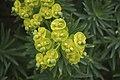 Euphorbia dendroides Zingaro 0051.JPG