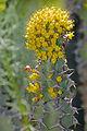 Euphorbia grandicornis, blomme, Jan Celliers Park.jpg