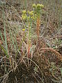 Euphorbia paralias 001.JPG