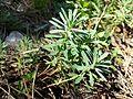 Euphorbia saxatilis sl15.jpg