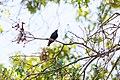 European starling (19777304345).jpg