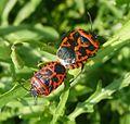 Eurydema ventralis.Pentatomidae. - Flickr - gailhampshire.jpg