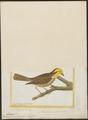 Euspiza americana - 1700-1880 - Print - Iconographia Zoologica - Special Collections University of Amsterdam - UBA01 IZ16100201.tif