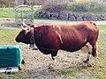 Evolèner Rind im Tierpark Goldau.jpg