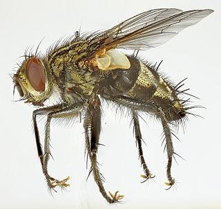 Exoristinae Subfamily of flies