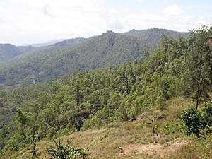 Extensive Eucalyptus urophylla, a montane Eucalypt, about 25 km south of Dili along the Aileu Road.jpg