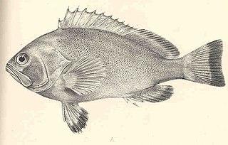 Marquesan grouper Species of fish