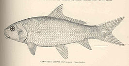 FMIB 40113 Carpiodes carpio (Rafinesque) Carp Sucker.jpeg