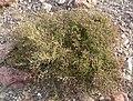 Fagonia laevis 1.jpg