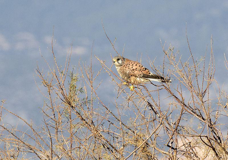 File:Falco tinnunculus - Common Kestrel, Mersin 2017-01-22 01-3.jpg