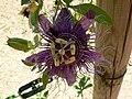 Fale - Giardini Botanici Hanbury in Ventimiglia - 497.jpg