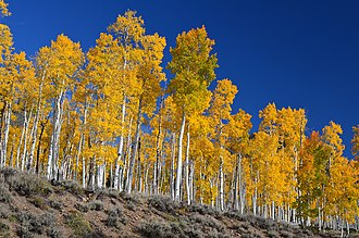 Pando (tree) - Pando aspen grove at Fishlake National Forest