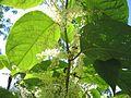 Fallopia-japonica(Blaetter-Biene).jpg