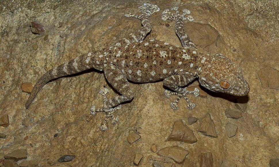 Fan Foot Gecko (Ptyodactylus hasselquisti)