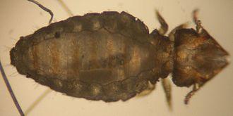 Mallophaga - Felicola subrostratus