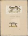 Felis borealis - 1700-1880 - Print - Iconographia Zoologica - Special Collections University of Amsterdam - UBA01 IZ22100344.tif