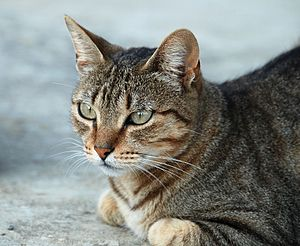 "Cat coat genetics - Mackerel tabby, showing the characteristic ""M"" on its forehead."