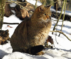 European wildcat - European wildcat in a zoo in Děčín, Czech Republic