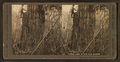 Felling cedar 20 ft. from ground, by Kinsey, Darius, 1869-1945.png