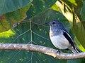 Female Oriental Magpie Robin.jpg