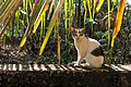 Feral cat in Corgao, Goa, India-3.jpg